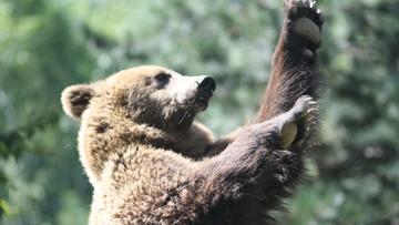 Zamiast biernie leżeć, zaczął walczyć. 44-letni rosyjski grzybiarz odpędził niedźwiedzicę gołymi rękami