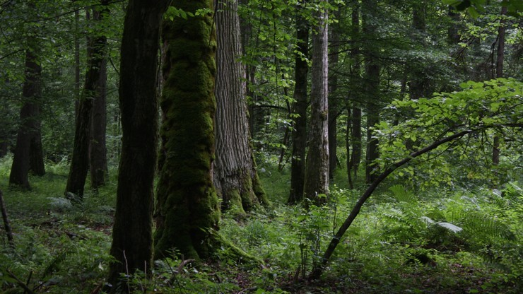 Lasy Państwowe: wycięto 157 tys. zasiedlonych przez kornika drzew w Puszczy Białowieskiej