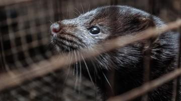 Koronawirus u norek w Polsce. Uśpią ponad 30 tys. zwierząt