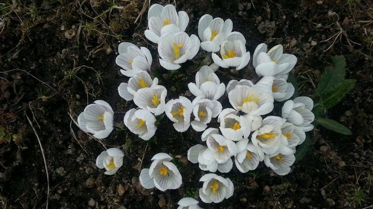 Nadeszła wiosna, zakwitły krokusy