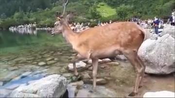 Jeleń w Morskim Oku. Nie boi się ludzi, kąpie się w tłumie [WIDEO]