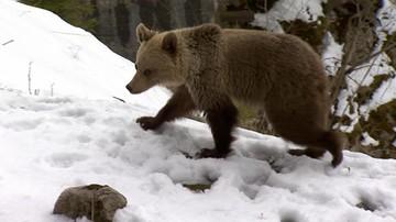 Chcą uratować drugiego niedźwiadka z Kasprowego Wierchu