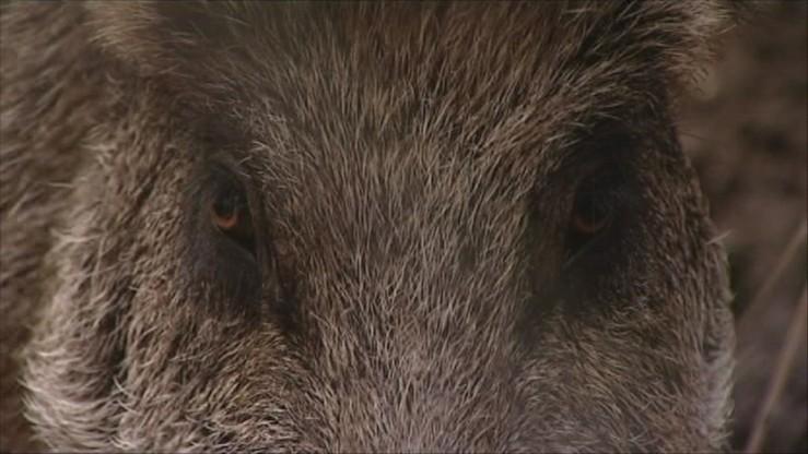 """""""Odstrzał wszystkich dzików w Europie"""". Pomysł marszałka woj. lubelskiego na walkę z ASF"""