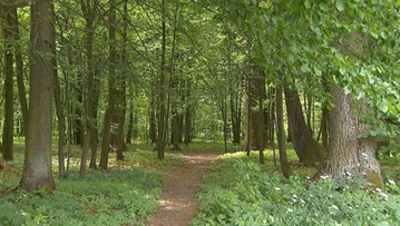 Puszcza Białowieska na Liście Światowego Dziedzictwa w Zagrożeniu - UNESCO nie wyklucza