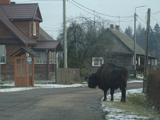 Żubr stał na środku drogi w środku białowieskiej wsi Budy.