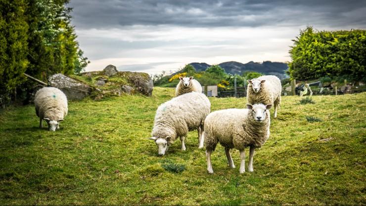 Naukowcy zmienili jądro komórki owcy w plemnik. Jesteśmy bliżej klonowania ginących gatunków