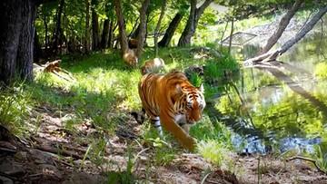 Sensacyjne nagranie. Rodzina amurskich tygrysów nad brzegiem jeziora [WIDEO]