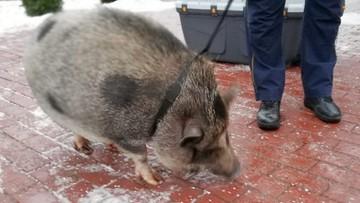 Warszawa: myśleli, że spotkali dzika, wezwali straż miejską. Okazało się, że to świnka wietnamska