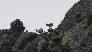 Najstarszy monitoring przyrodniczy prowadzony przez dwa państwa jednocześnie. Policzyli kozice w Tatrach
