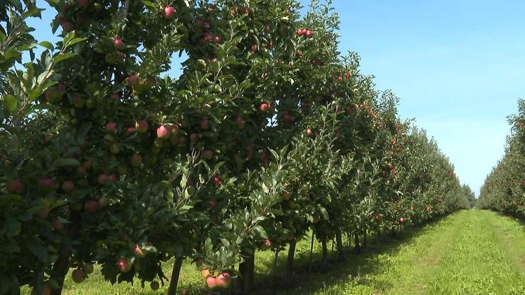 Ceny jabłek. Ile dostaną rolnicy, a ile zapłacimy w sklepie?