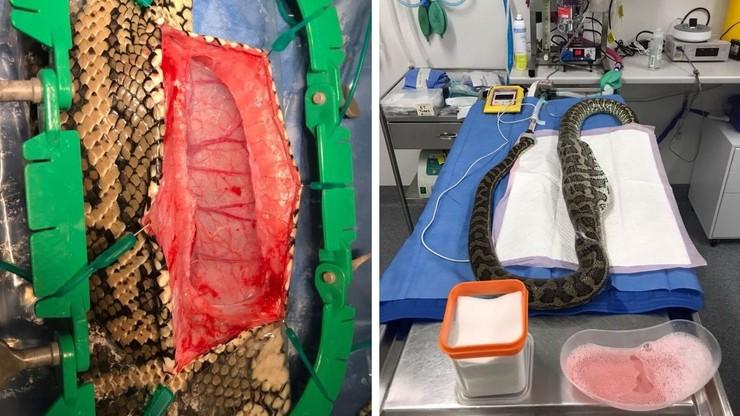 Pyton połknął kapeć. Godzinna operacja uratowała węża, odzyskano też pantofel [WIDEO]