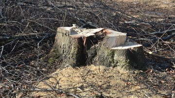 """""""Kto miał wpływ na ustawę ws. wycinki drzew"""". Nowoczesna pyta CBA"""