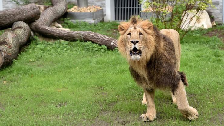 Nowy pawilon w krakowskim zoo. Dla jaguarów i lwów azjatyckich