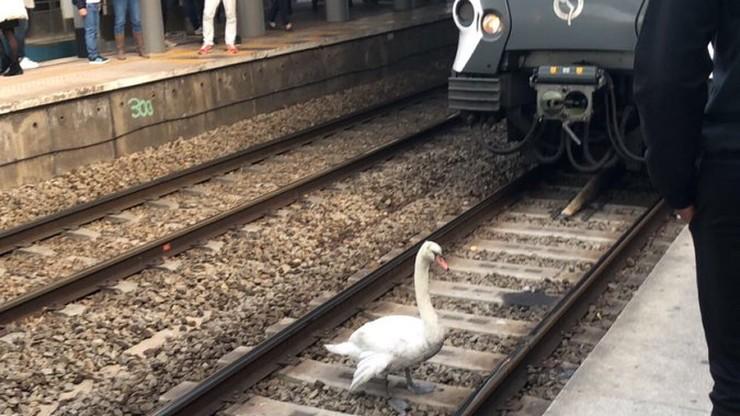 Łabędź spacerował po torach we Francji. Ruch pociągów wstrzymany