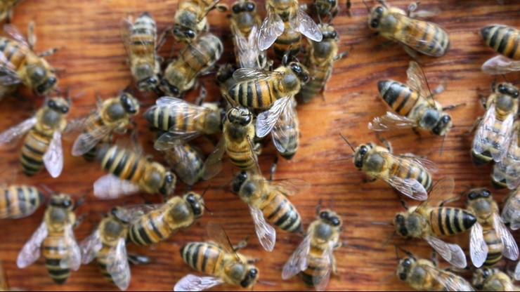 Przewozili pszczoły w ciężarówce. Ponad pół miliona owadów zginęło