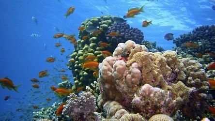 Ten niezwykły gatunek ryb udomowił sobie krewetki. Na co dzień mieszka w rafach koralowych