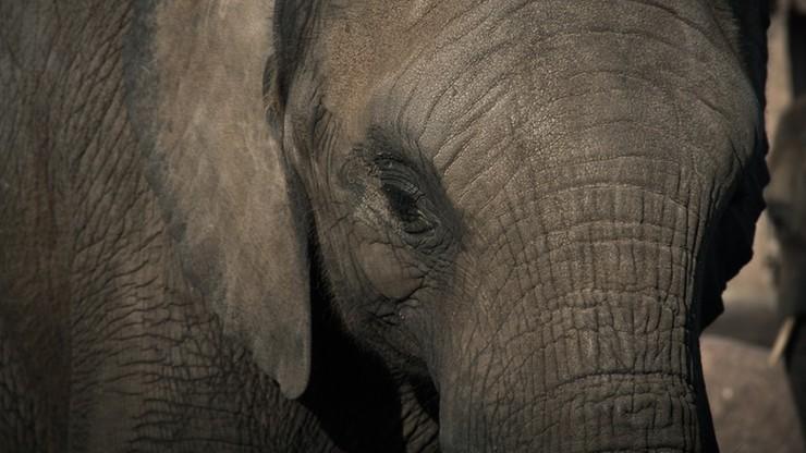 Słoń uderzył opiekuna w japońskim zoo. Mężczyzna zmarł