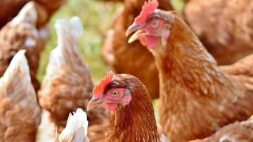 Minister rolnictwa: wirus ptasiej grypy niegroźny dla ludzi