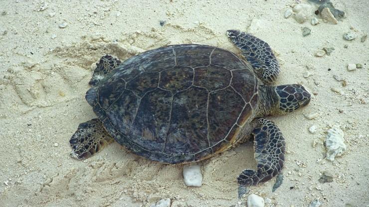 Żółw znaleziony na plaży powoli umierał z głodu. W jego żołądku utknęły śmieci
