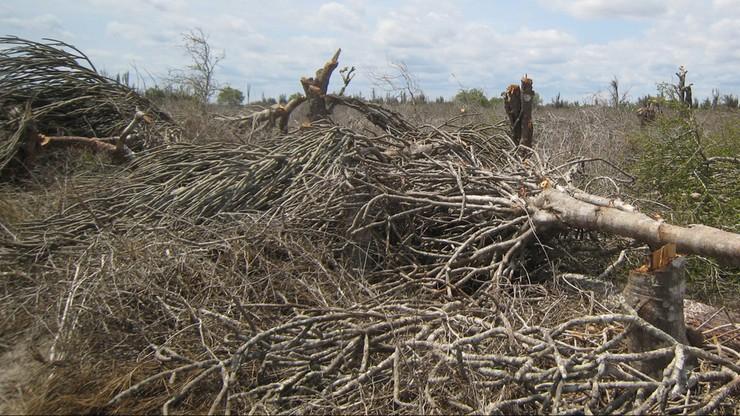 Ukraina zamieni się w pustynię? Tamtejsze lasy masowo wysychają