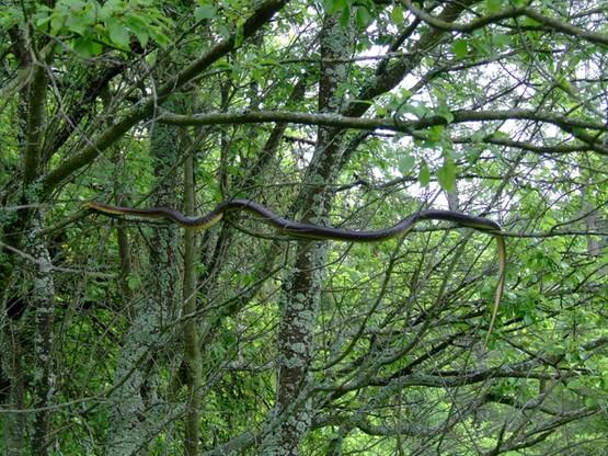 Długość ciała węża Eskulapa może dochodzić nawet do 2 metrów