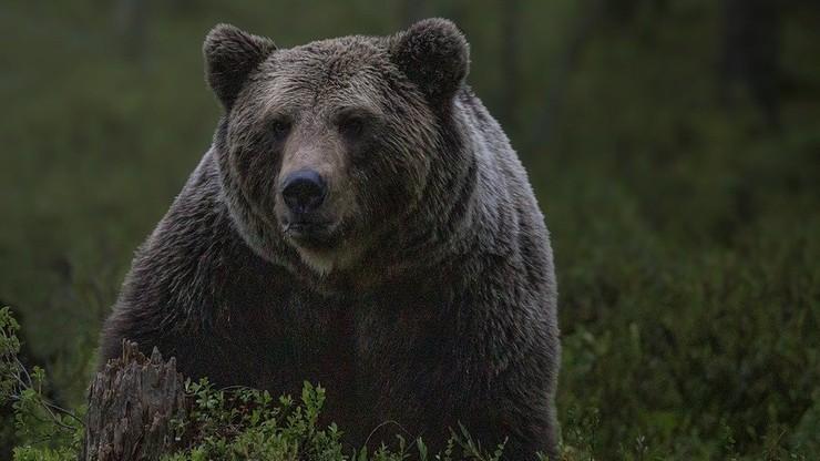 """Śmierć po ataku niedźwiedzia. """"Zwłoki były zmasakrowane"""""""