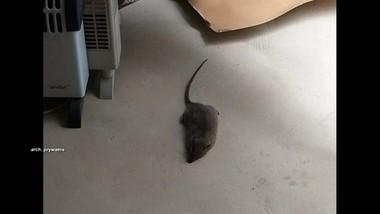 Plaga szczurów w kamienicy w Łodzi