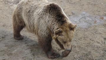 Niedźwiedź zaatakował czeskich turystów w Tatrach. Obyło się bez poważniejszych obrażeń