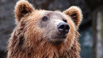 Niedźwiedź wszedł do domu, w którym było dwoje małych dzieci. Rodzina zabarykadowała się w pokoju