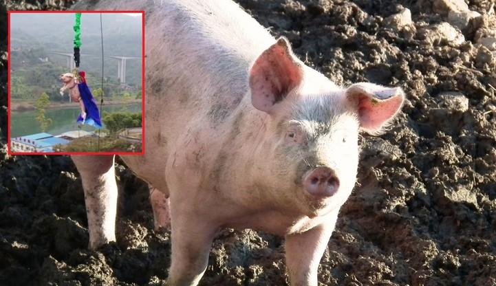 """Zmusili świnię do """"skoku"""" na bungee. """"Obrzydliwa akcja PR-owa"""" w Chinach"""