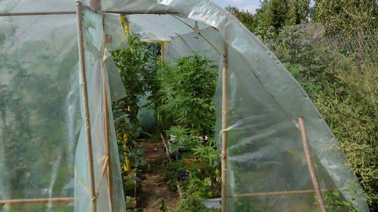 Plantator marihuany zatrzymany. Policja zabezpieczyła ponad kilogram narkotyków