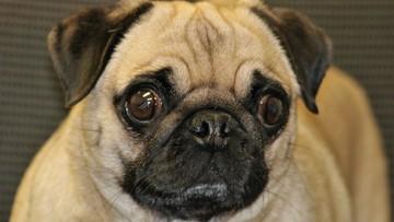 Pies ze Stanów Zjednoczonych zakażony koronawirusem