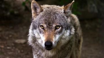 Urzędnicy zgodzili się na odstrzał watahy wilków. Zoo chce pomóc zwierzętom