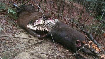 Żubry rozszarpane przez niedźwiedzia. Nadleśnictwo opublikowało zdjęcia