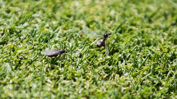 Latające mrówki największą zmorą tenisistów podczas Wimbledonu