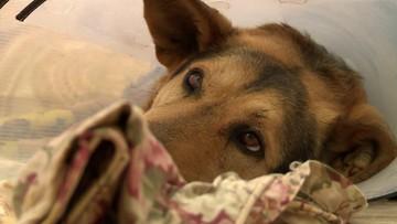 Spiłowane kości i głębokie rany. Sołtysce, która ciągnęła psa za autem grozi 5 lat więzienia