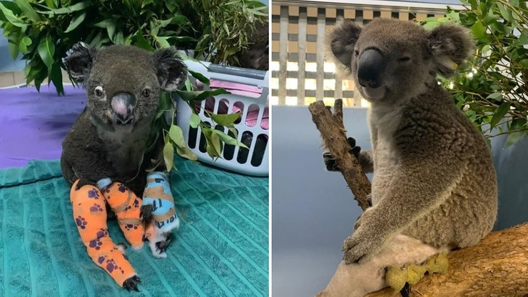 Polskie gwiazdy adoptują koale - ofiary pożarów w Australii