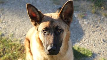 Psy potrafią wykryć zakażenie koronawirusem. Pomagają na lotniskach
