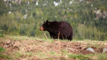 Niedźwiedź poranił uczestniczkę maratonu w Nowym Meksyku