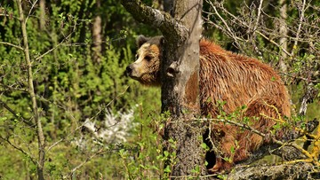 """Niedźwiedź zaatakował turystę. """"Został zaskoczony w zaroślach"""""""