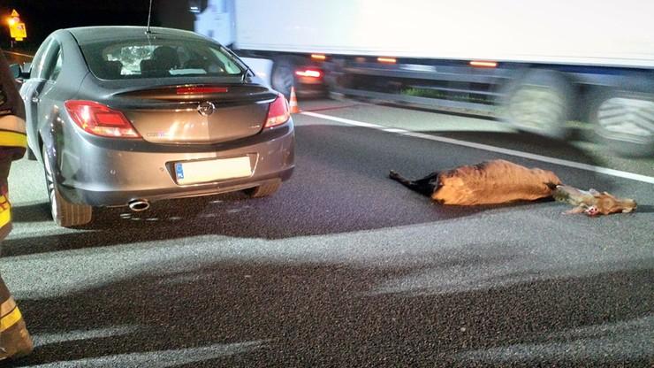 Młody jeleń wyskoczył przed samochód osobowy. Kierowca nie zdążył zareagować