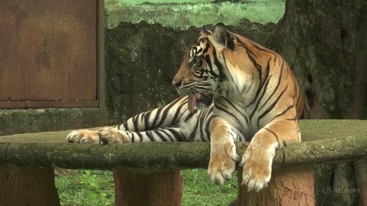 Tygrysy chorowały na COVID-19. Były izolowane