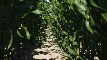 2,5-letni chłopiec zagubił się w polu kukurydzy. Szukano go przez 4 godziny
