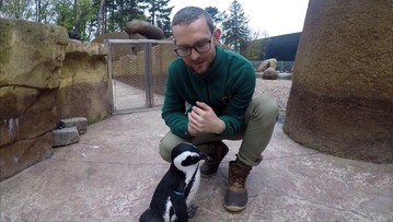 Janush gwiazdą Światowego Dnia Pingwinów we wrocławskim zoo