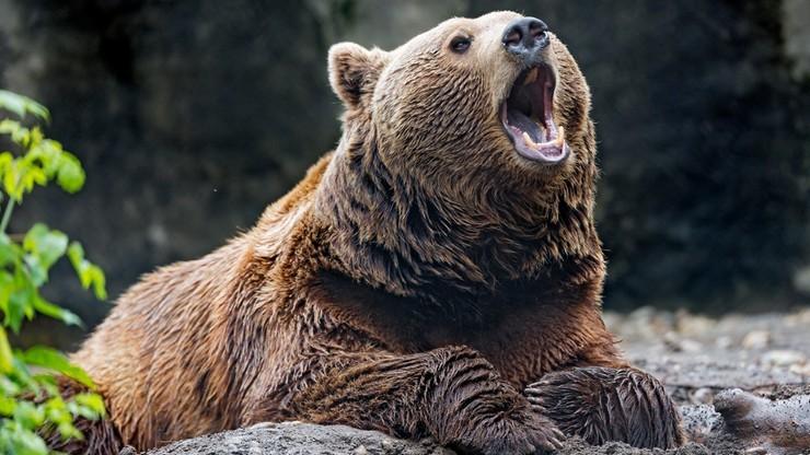 Niedźwiedź na ulicach Zakopanego. Policja apeluje o ostrożność