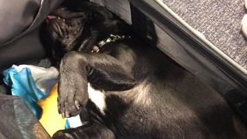 Pies nie przeżył lotu samolotem. Stewardesa umieściła go w schowku na bagaże