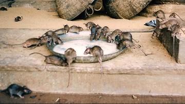 Człowiek zachorował na szczurze zapalenie wątroby