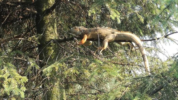 Niecodzienna interwencja strażaków. Pomogli... siedzącej na drzewie egzotycznej jaszczurce