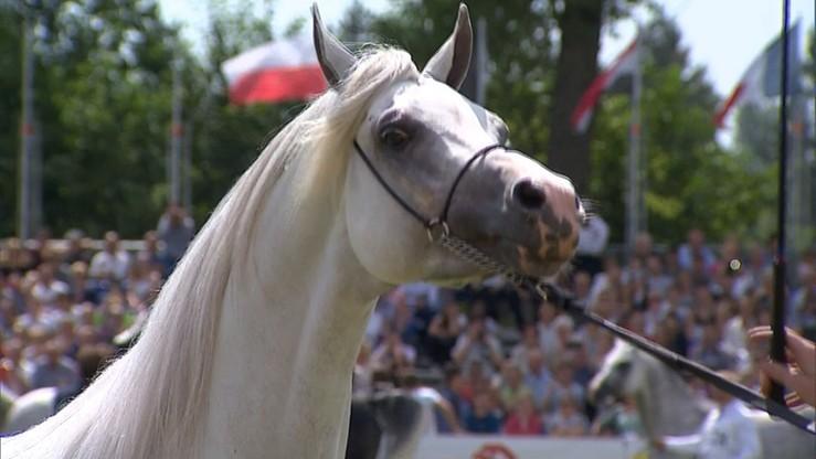 Janów Podlaski stracił pokaz koni arabskich. Narodowy czempionat odbędzie się w Warszawie