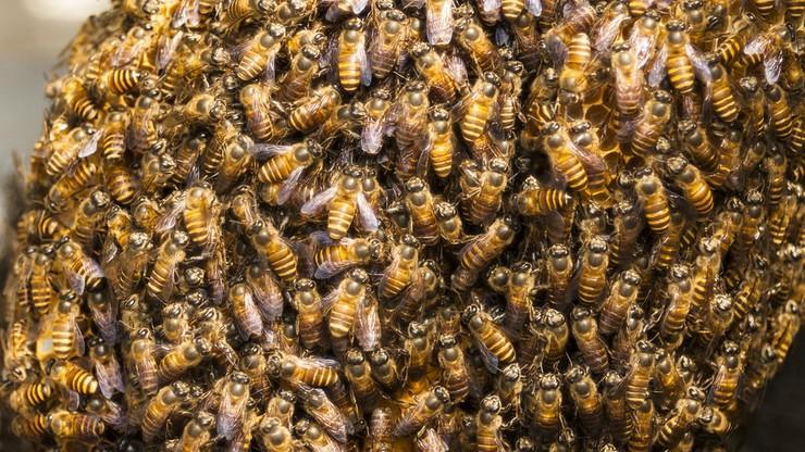 Pszczoły sparaliżowały Londyn. Zamknięto ruch na kilku ulicach